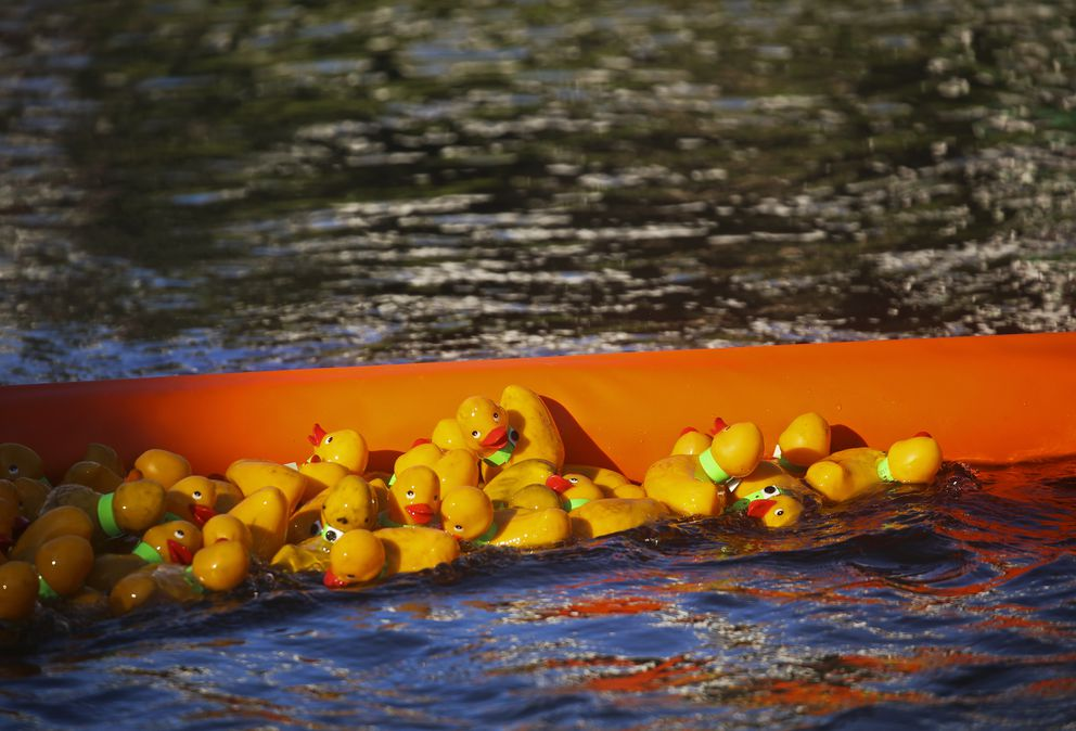 Rubber ducks gather in a holding area as volunteers work to remove them with nets. (Emily Mesner / ADN)