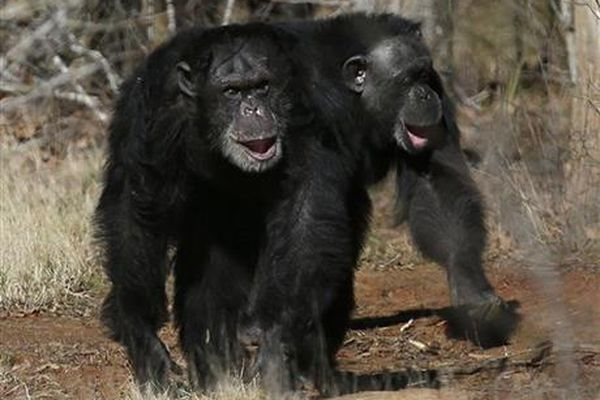 This Feb. 19, 2013 file photo shows two chimps walking together at Chimp Haven in Keithville, La. The National Institutes of Health is sending its last remaining research chimpanzees into retirement — as soon as a federal sanctuary has room for them.