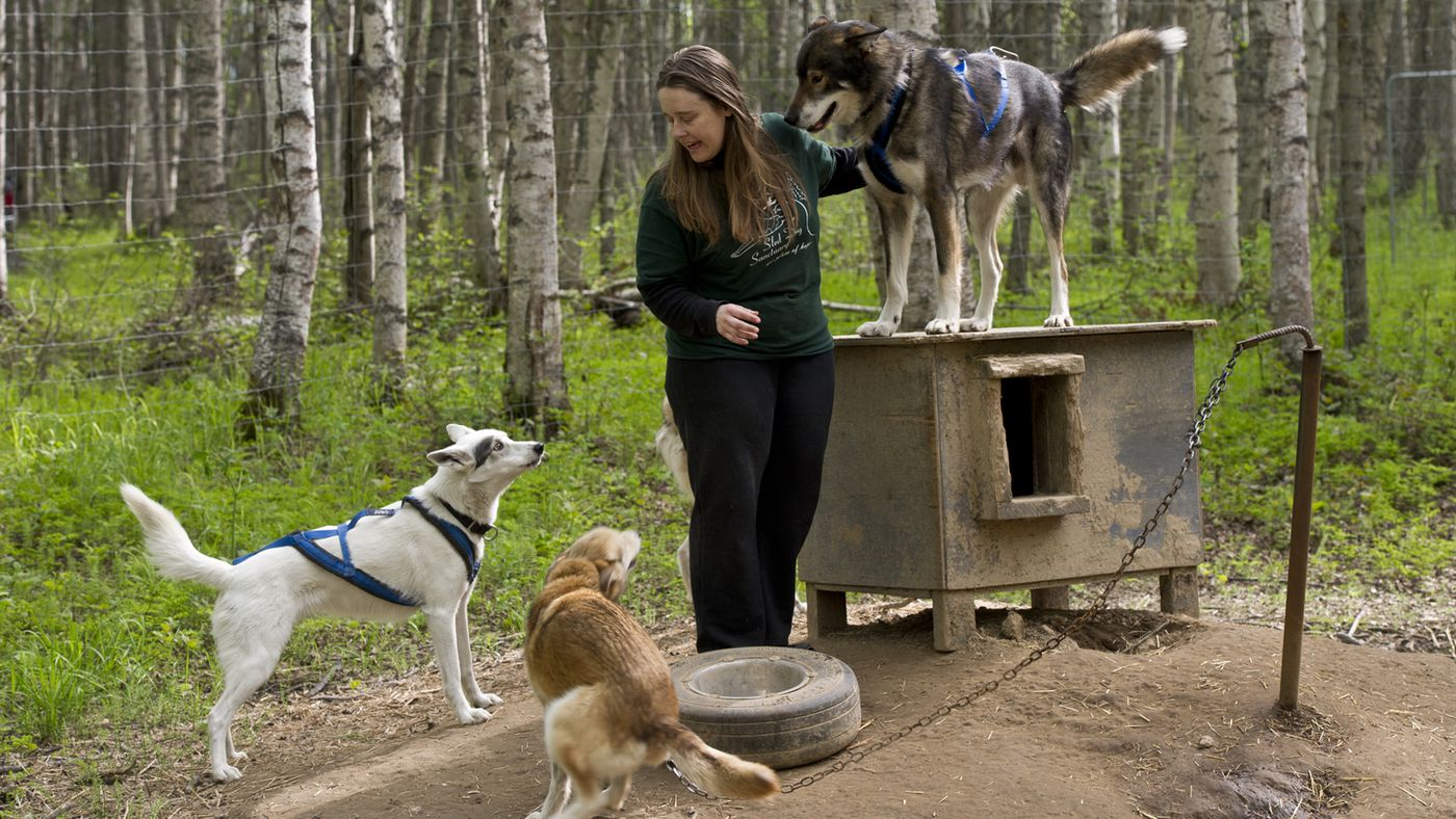 Marc Lester / Alaska Dispatch News on Thursday, May 21, 2015. Raven Vinter and James Langston operate Sled Dog Sanctuary along the Parks Highway near Talkeetna. The facility is currently caring for 35 rescued sled dogs.