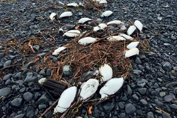 OPINION: Alaska, we face a big problem in climate change, and adapting is going to be difficult. So let's start now. Pictured: Dead murres line a beach in Prince William Sound the first week of January, 2016.