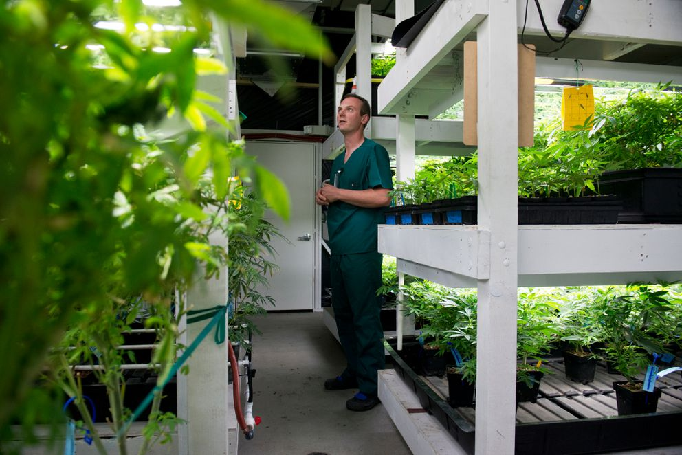 Arthur Abel, a co-owner of Greatland Ganja, looks at young plants in the vegetative room of the Kasilof facility. September 21, 2016. (Marc Lester / Alaska Dispatch News)