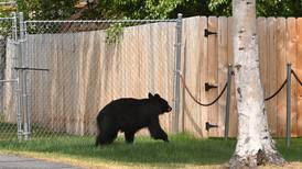 How do wildlife officials manage injured bears around Anchorage? Options are limited.