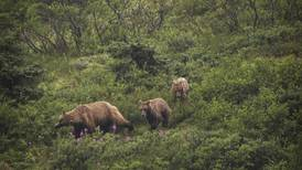 Hunter mauled by grizzly sow with cubs in Alaska's Wrangell-St. Elias National Park