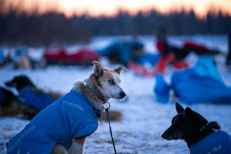 A dog in Robert Redington's team sits in Nikolai on Tuesday, March 10, 2020 during the Iditarod Trail Sled Dog Race. (Loren Holmes / ADN)