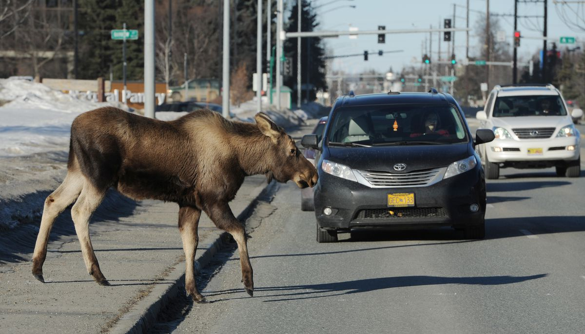 Traffic stopped for this yearling moose that was following a cow moose as they crossed 36th Avenue in Midtown Anchorage on March 22, 2018. (Bill Roth / ADN archive)