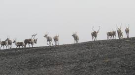 There are caribou along the Denali Highway, but don't count on easy hunting. Bagging one might mean taking a running shot.