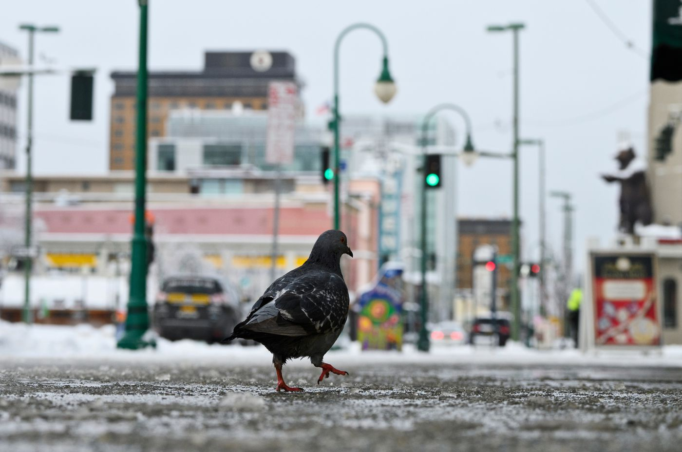 A pigeon walks on 4th Avenue. (Marc Lester / ADN)