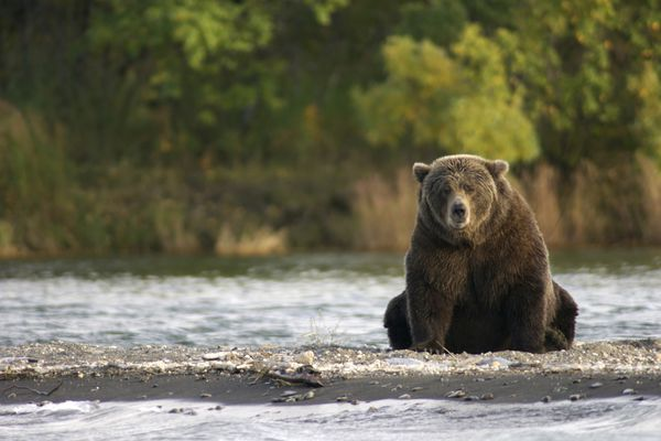 Bear 410 sits near Brooks River in Katmai National Park and Preserve. (NPS photo)