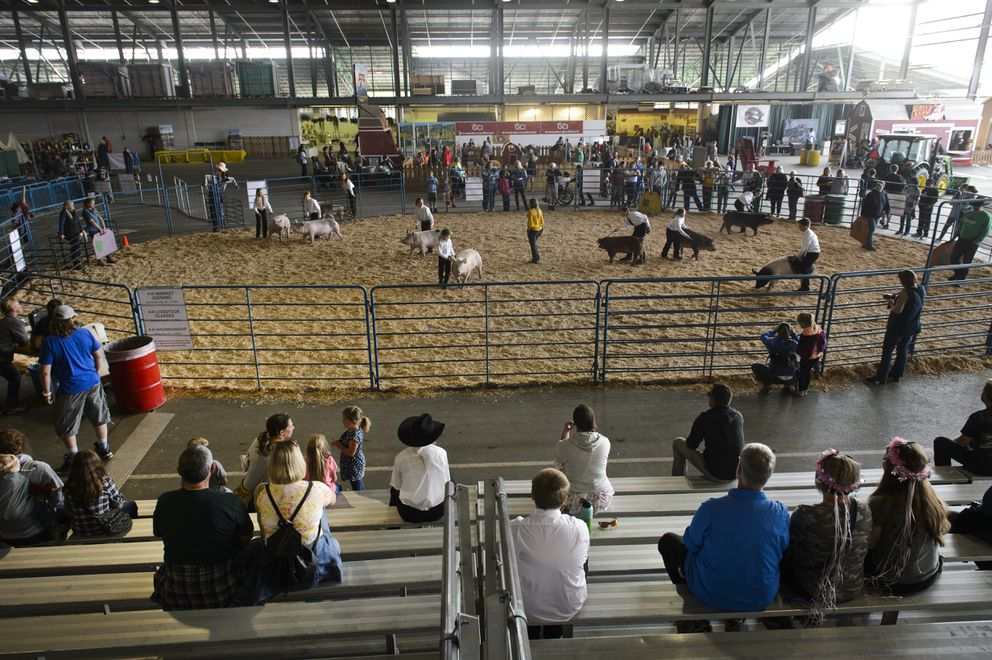 Swine are presented during the 4H livestock breeding competition. (Marc Lester / ADN)