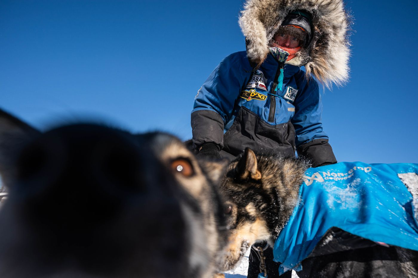 Paige Drobny tends to her team after arriving in Nikolai during the Iditarod Trail Sled Dog Race. (Loren Holmes / ADN)