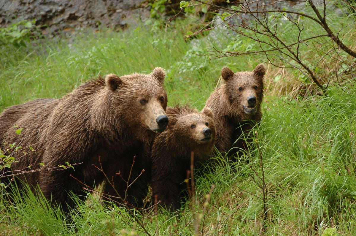 A brown bear with two cubs wandered down from the cliffs along the Cook Inlet coast in the McNeil River State Game Sanctuary on the Alaska Peninsula. (Bob Hallinen / ADN archive)