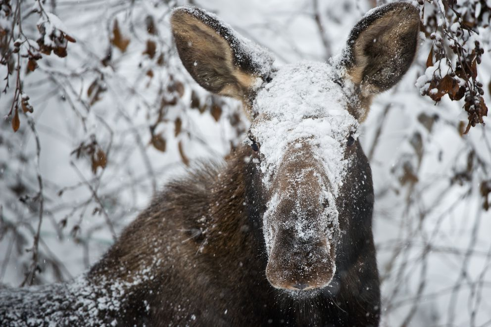 A moose catches some snow in the face while browsing the laden branches on a residential street in Midtown Anchorage on January 23, 2017. (Marc Lester / Alaska Dispatch News)