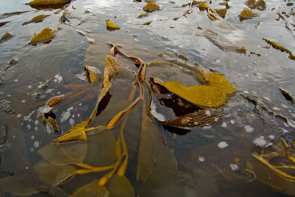 Alaska seaweed harvesting could turn into a growing segment of the mariculture industry.