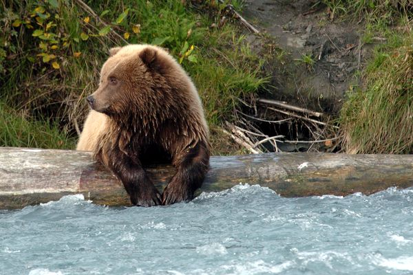 The female juvenile grizzly fished for salmon at the confluence of the Russian and Kenai River Wednesday, Sept 21, 2005. The female has been observed allowing fish she caught to be eaten by her injured sibling. (Jim Lavrakas / ADN archive 2005)