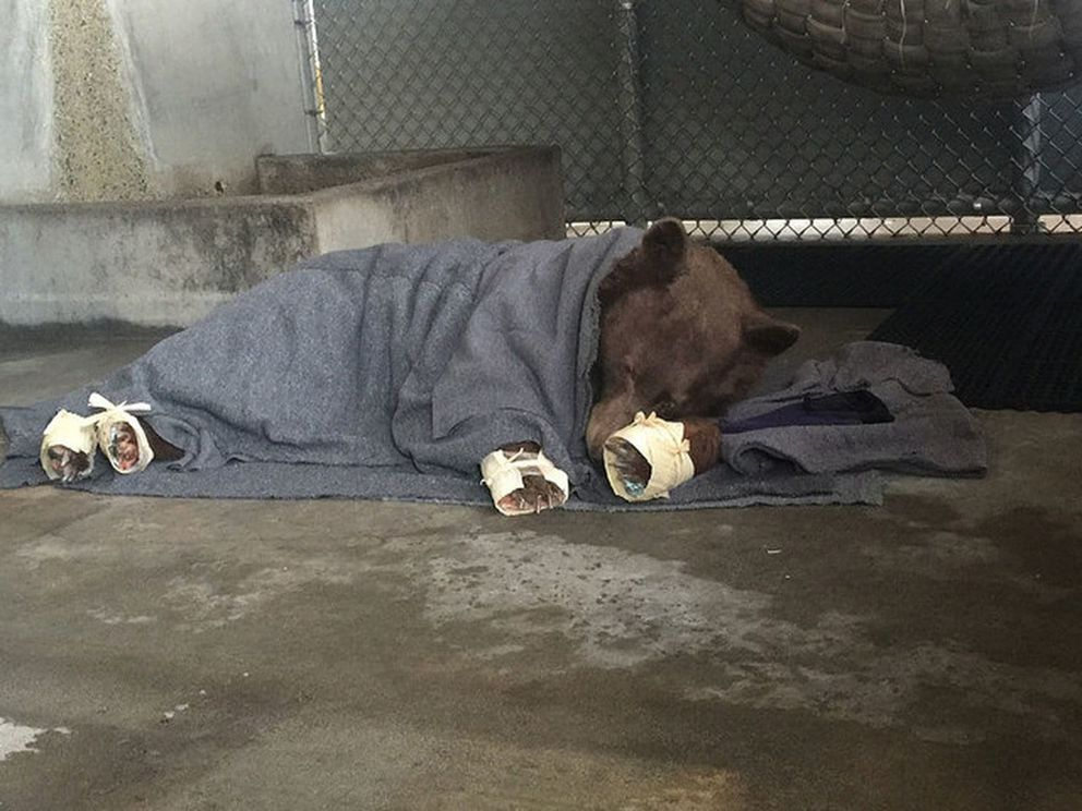 The first rescued bear naps in its holding pen after getting its tilapia treatment. The bear's feet were also wrapped in rice paper and corn husks. (California Department of Fish and Wildlife)