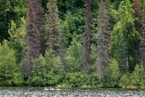Migrating swans glide past beetle-killed spruce trees on Saturday, August 26, 2017, at Byers Lake in Denali State Park. (Lois Epstein)