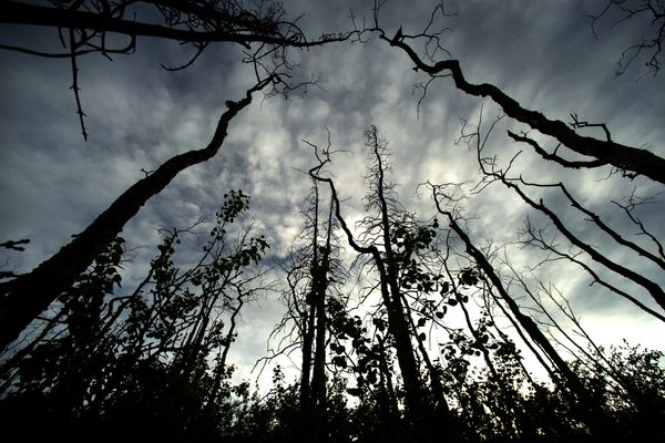 New saplings are starting to reach the sky among the burned out trunks of trees from a past forest fire along the Parks Highway in interior Alaska on May 19, 2015. (Bob Hallinen / ADN archive)