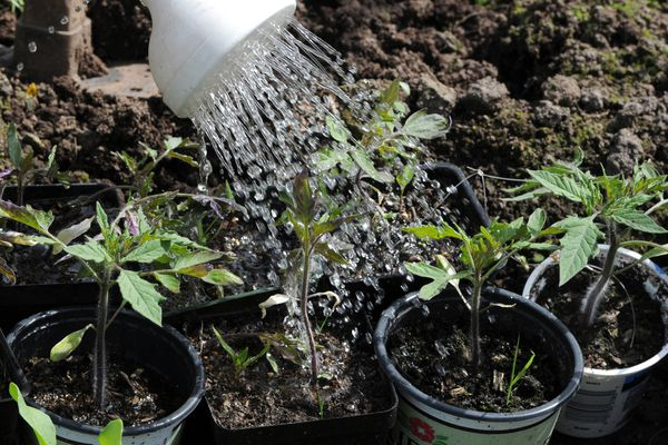 Tomato plant starters being watered at the C Street Community Gardens on Tuesday, May 22, 2018. (Bill Roth / ADN)