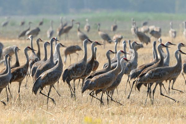 Sandhill cranes feeding on farmland along Inner Springer Loop in Palmer react to an airplane that flew overhead on Tuesday, Aug. 27, 2019, as they prepare to migrate south for the winter. (Bill Roth / ADN)