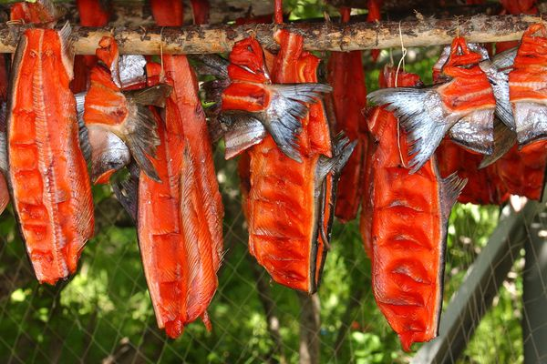 In 2005, king salmon caught in the Yukon River hangs to dry.
