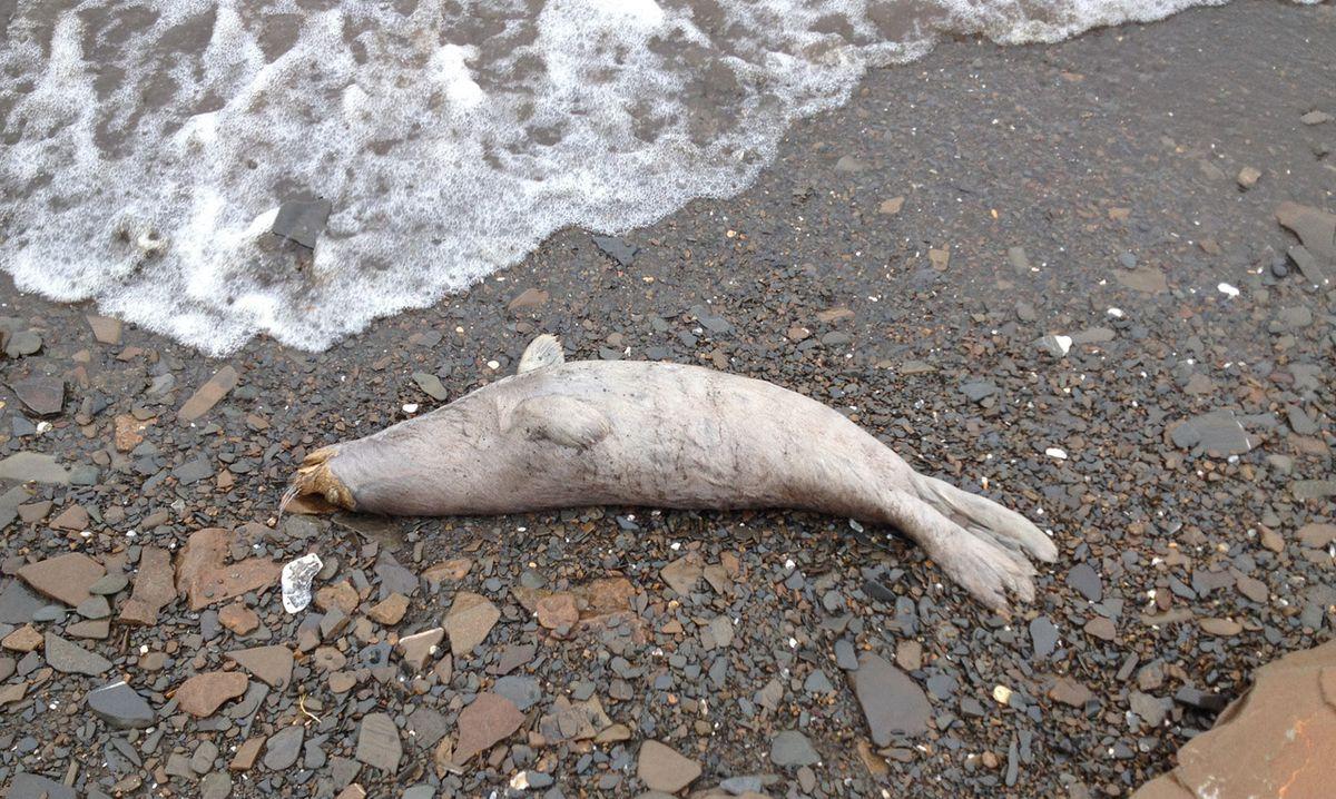Harold Okitkun counted 18 dead seals along 11 miles of shore north of Kotlik. Photographed June 7, 2019. (Harold Okitkun)
