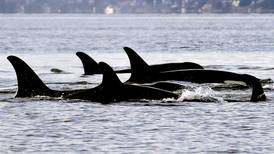 Researchers say they've found evidence that salmon scarcity isn't the cause of orca decline in Pacific Northwest