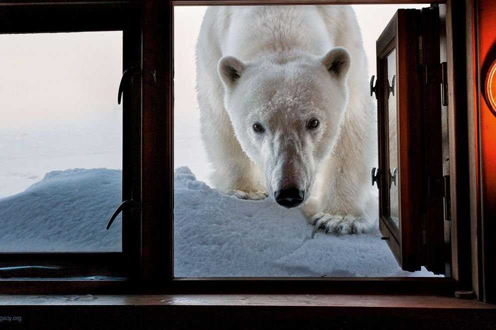 Face to Face, Svalbard, Norway Photo © 2018 Paul Nicklen