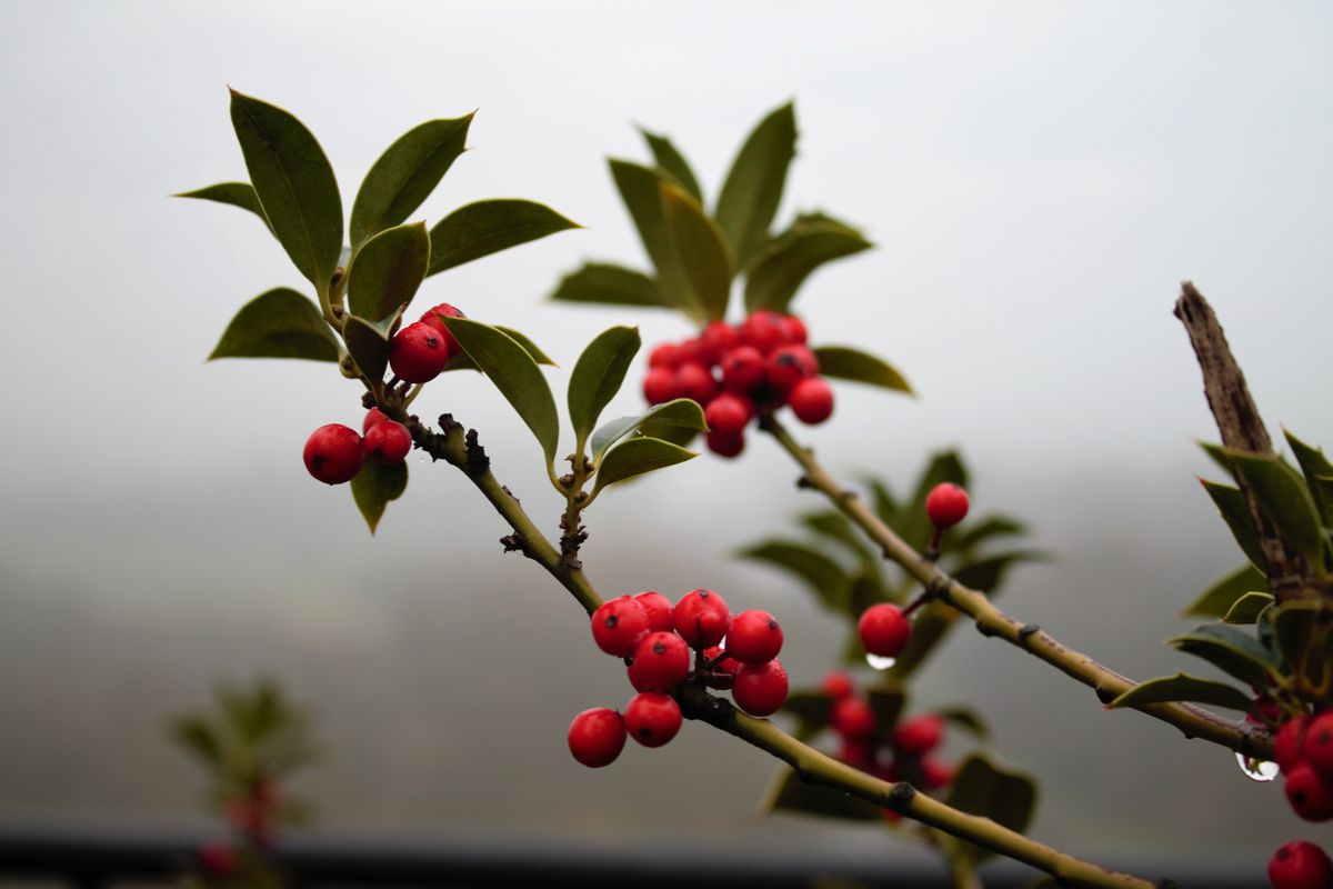 You can find complete holly plants in Alaska, but they won't be hardy enough to survive in Alaska. (Getty Images)