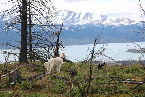Boss enjoys the view of the Kenai Mountains in the area of the Swan Lake Fire during a hike May 22, 2021. (Photo by Steve Meyer)