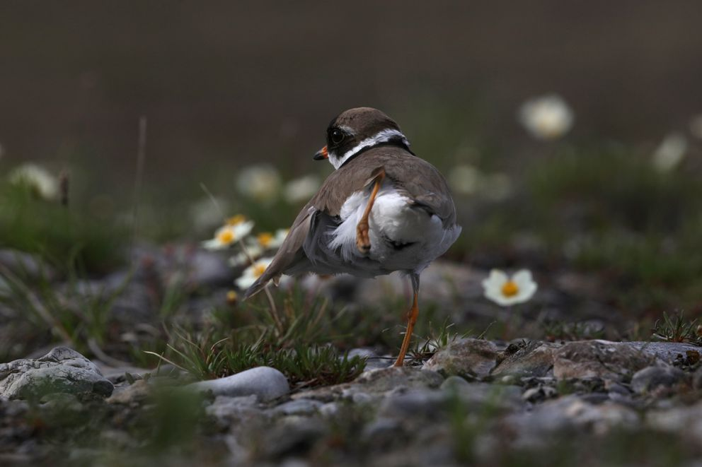 A semipalmated plover has a scratch on a gravel bar in the Brooks Range. Photographed on the north slopes of the eastern Brooks Range, June 2017. (Photo by Steve Meyer)
