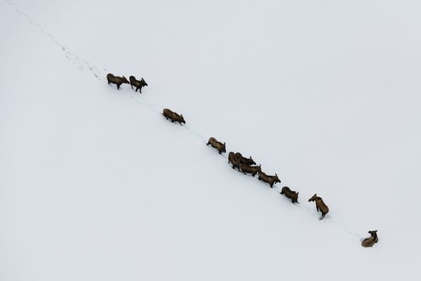 Eleven moose stand in a line on the surface of the Yukon River near Eagle Island during the Iditarod on March 9, 2019. (Marc Lester / ADN)