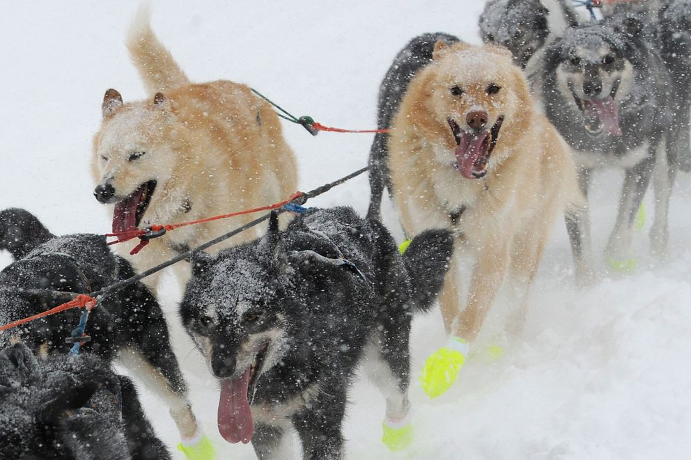 Brent Sass's sled dogs drive through a snowstorm as they cross Long Lake on Sunday. (Bill Roth / ADN)
