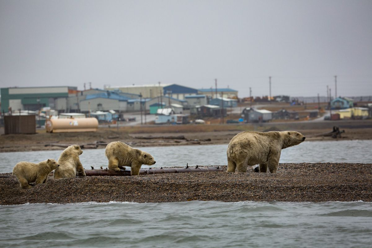 A mother polar bear with her triplets in the town of Kaktovik, Alaska, Sept. 5, 2016. Polar bears roam the town during the fall as climate refugees, on land because the sea ice they rely on for hunting seals is receding. Federal wildlife officials on Jan. 9, 2017, called climate change the biggest threat to the survival of the polar bear and warned that without decisive action to combat global warming, the bears would almost certainly disappear from much of the Arctic. (Josh Haner/The New York Times)