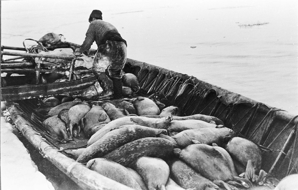 "David Iokienna loading his sledge onto an umiaq filled with forty to fifty hair and spotted seals north of Wales, 1920s. Meat not consumed right away was either dried or stored in meat holes, slightly aged by fall, providing a delicious taste. The meat holes were next to the permafrost, which provided refrigeration and kept food from spoiling. Iokienna was the father of the late reindeer herd owner Faye Ongtawasruk.""Menadelook: An Inupiat Teacher's Photographs of Alaska village Life, 1907-1932″"