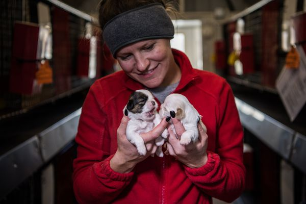 Sydney Noah, a breeder at the Sugarfork Kennels, holds Shih Tzu puppies in Goodman, Mo. (Washington Post photo by Salwan Georges)