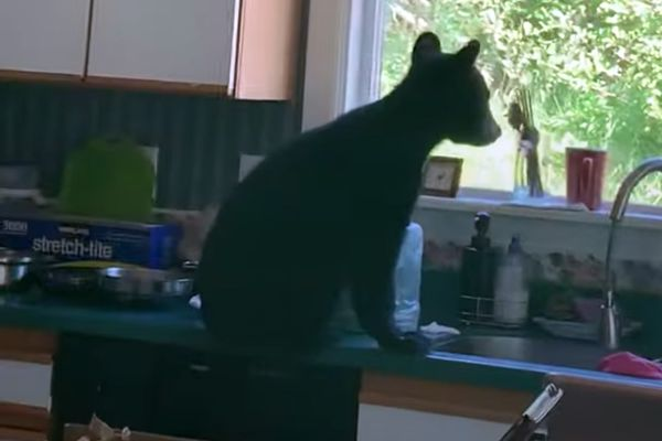 One of three black bear cubs sits on the kitchen counter. Three black bear cubs were briefly trapped inside an Anchorage Hillside home Thursday, July 23, 2020. (Screenshot of video made by Yulim Kim)