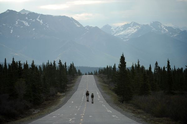 A pair of moose walks down the park road in Denali National Park and Preserve on Thursday, May 19, 2016. (Bob Hallinen / Alaska Dispatch News)
