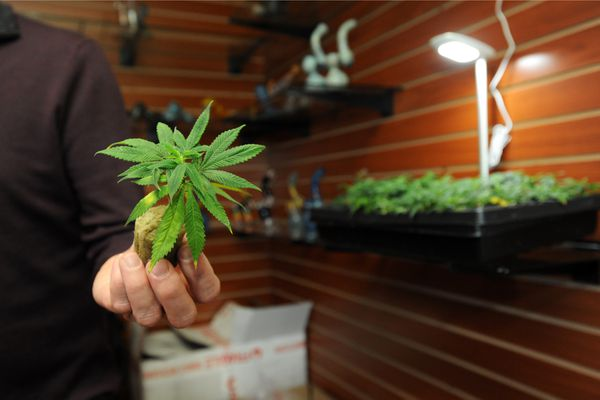 Bryant Thorp of Arctic Herbery holds an immature cannabis plant, or clone, before opening for business at noon on Friday, Dec. 9, 2016, on Arctic Boulevard in south Anchorage. The clones, sold three or six per customer, are cuttings from the Northern Lights strain of cannabis plants. (Erik Hill / Alaska Dispatch News)