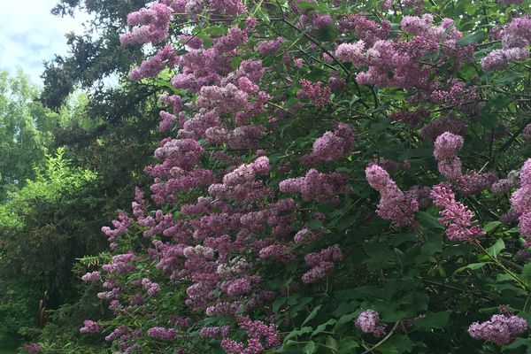 This year was a spectacular one for lilacs. With a little effort now, future years can be, too. (Jeff Lowenfels)