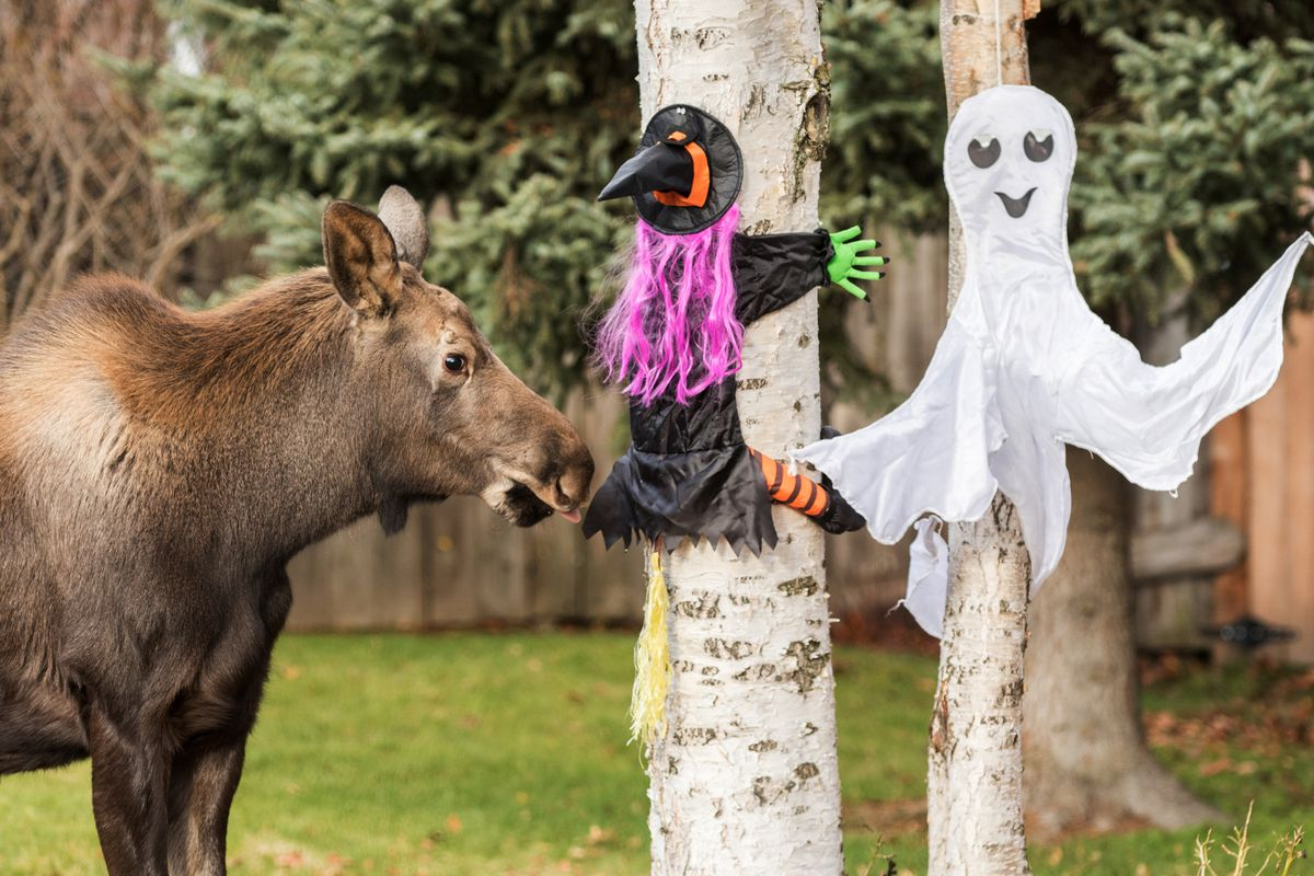 A moose calf stops to examine a spooky Halloween display in West Anchorage on Saturday, October 24, 2015. The calf was traveling through the Woronzof Drive neighborhood with her mother and twin calf and stopped at most houses along the way to nibble on trees and plants.