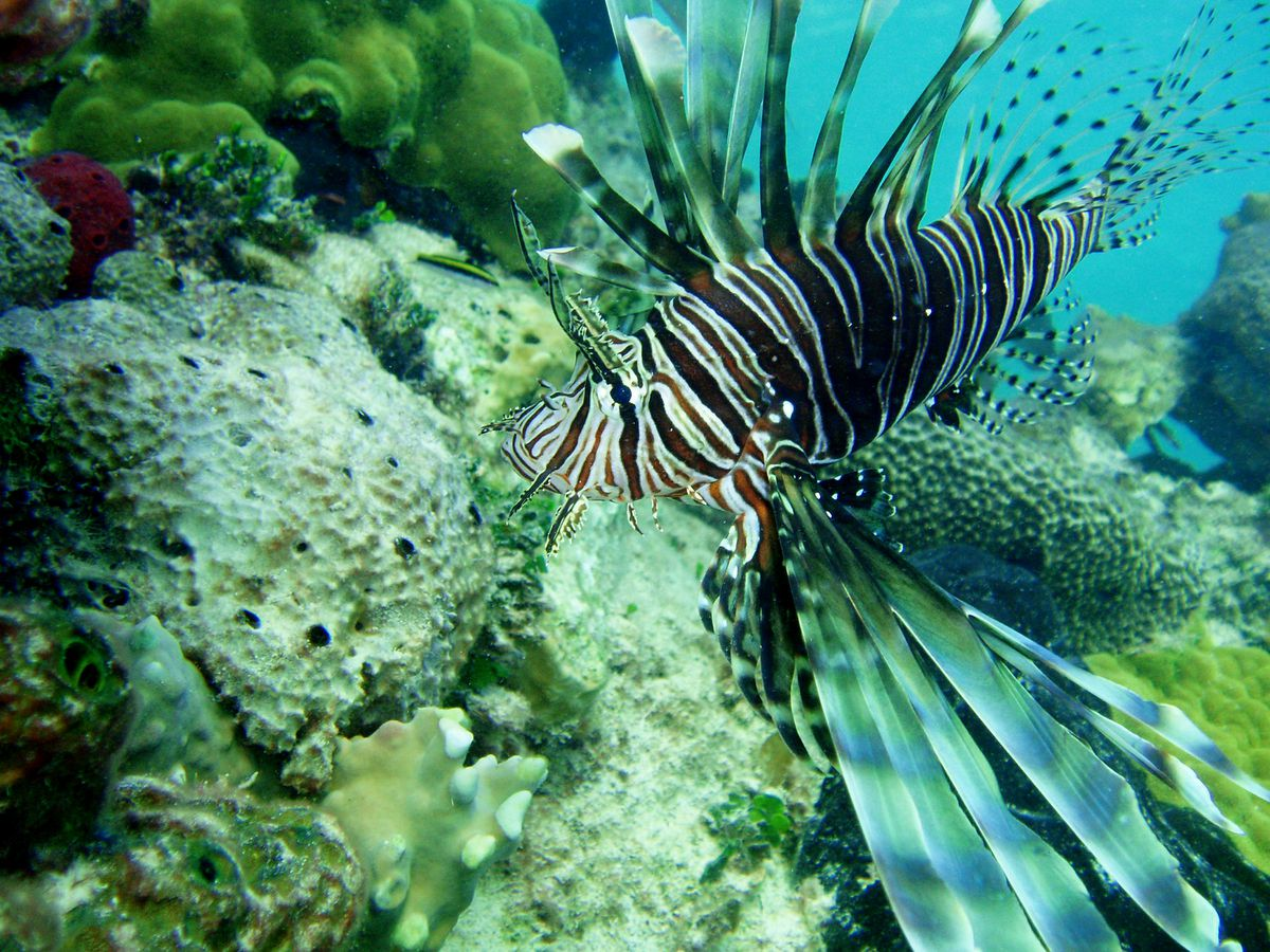 Lionfish, like this one spotted in the Bahamas, are a carnivorous, non-native predatory fish that damage coral reefs and can decimate native fish populations. (Cammy Clark/Miami Herald/TNS)