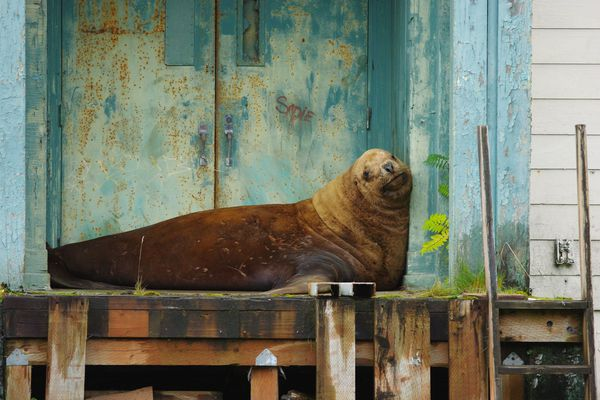 A Steller sea lion that wandered into Sitka sits in the doorway of a Penrod Hall, an old dormitory. The sea lion was first seen in the early hours of Friday morning. On Saturday, officials tried to usher the creature to the ocean. Sept. 1, 2018 (Roberta White)