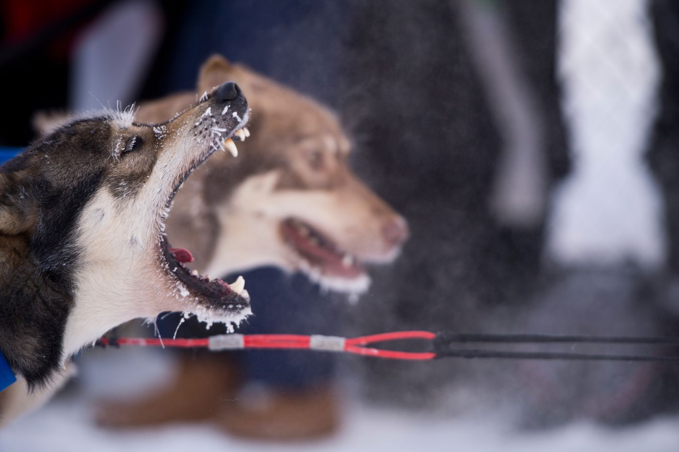 A dog in Pat Noddin's team barks before leaving the starting line. (Marc Lester / Anchorage Daily News)