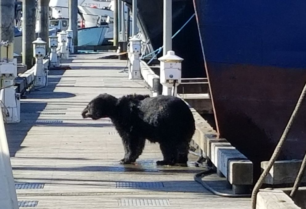 A black bear shakes water off after climbing on onto a floating dock in Cordova. (Seth Steben Photo)