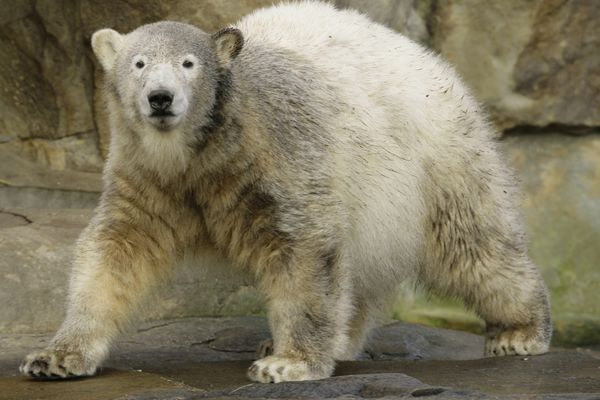 In this Dec. 5, 2007 picture, polar bear Knut walks in the enclosure during the celebration of his first birthday in the Zoo Berlin. Scientists in Germany say they have finally figured out what killed Knut the polar bear four years ago.