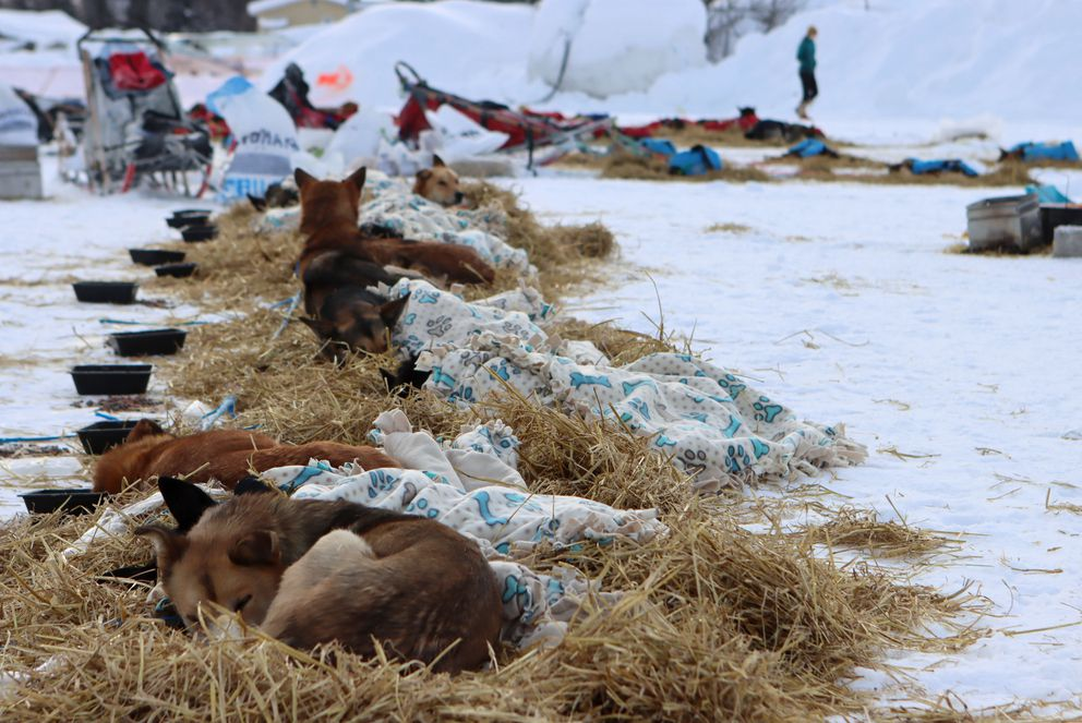 Matt Failor's dogs rest under fleecy blankets in McGrath. (Zachariah Hughes/for ADN)