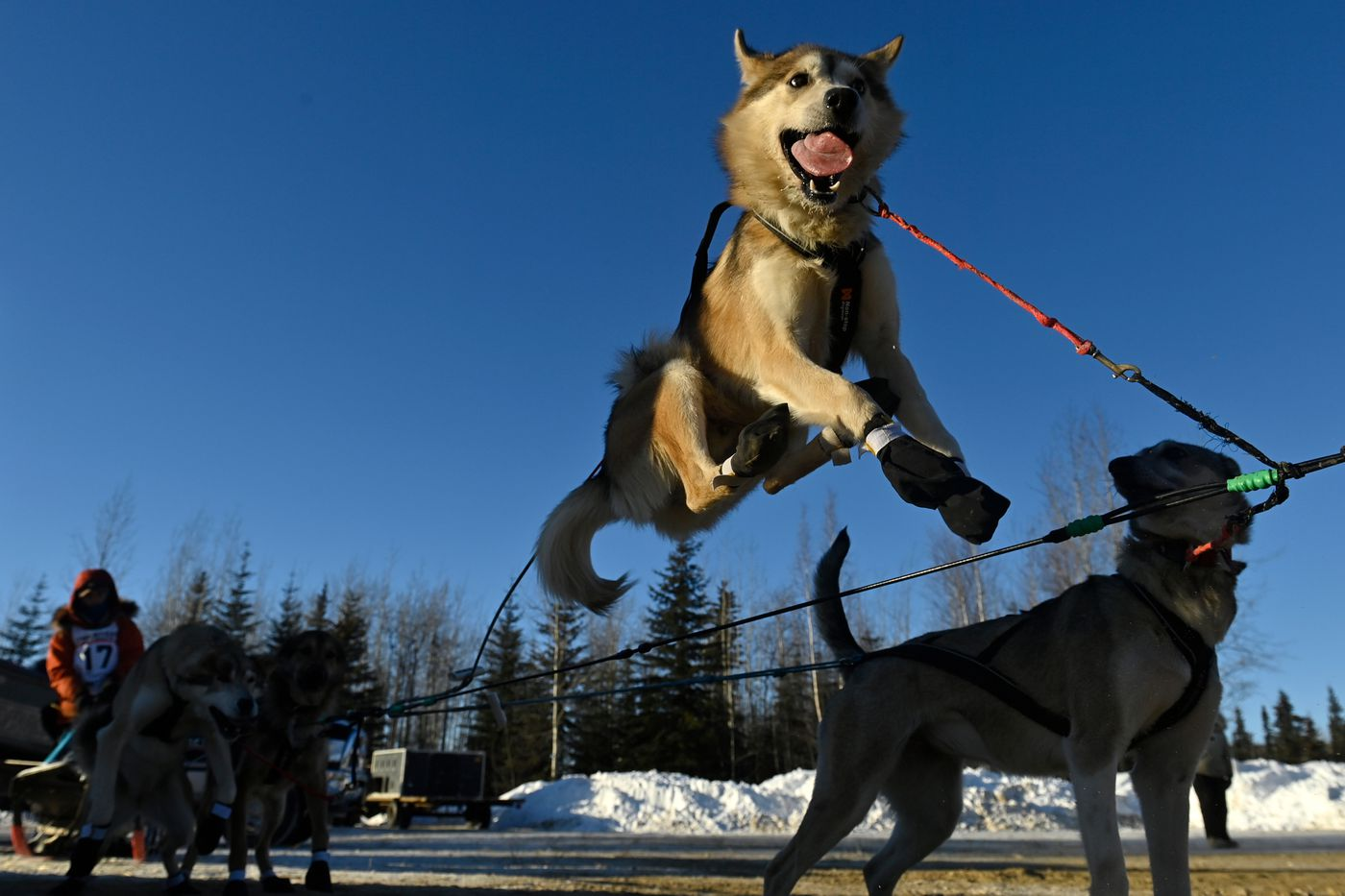 Caswell, a dog in Adam Lindenmuth's team, leaps in anticipation of the start of the Summit Quest 300 in Two Rivers on February 13, 2021. (Marc Lester / ADN)