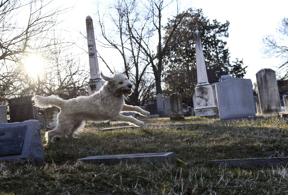 Buster, a labradoodle, takes a romp through Congressional Cemetery on Feb. 16, 2017, in Washington, D.C. (Washington Post photo by Toni L. Sandys)