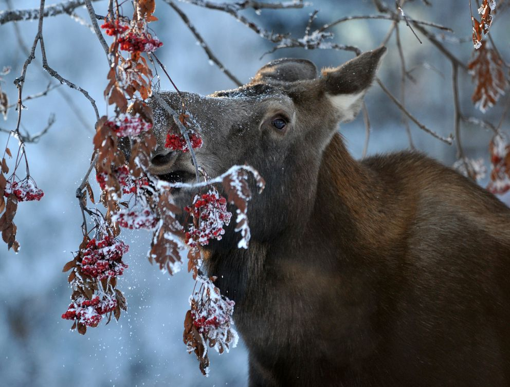A moose feeds on a mountain ash tree in the Anchorage Memorial Park Cemetery in Anchorage on Feb. 4. (Bob Hallinen / Alaska Dispatch News)