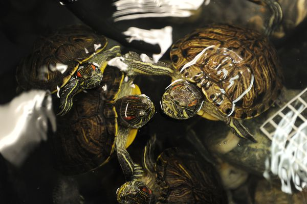 Red eared slider turtles float on water at Valley Aquatics and Reptile Rescue in Wasilla on Thursday, Nov. 2, 2017. (Bill Roth / Alaska Dispatch News)